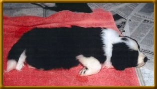 Domino as a puppy - taking a well deserved nap!
